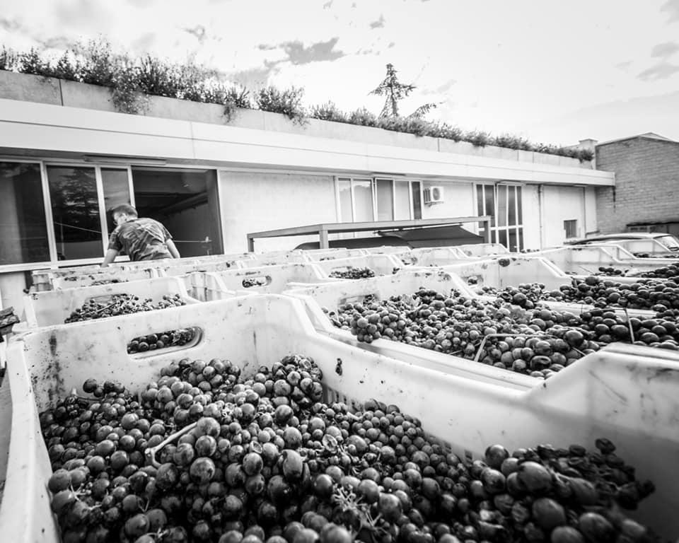 Lavorazione del vino Primitivo a Cantine Barsento