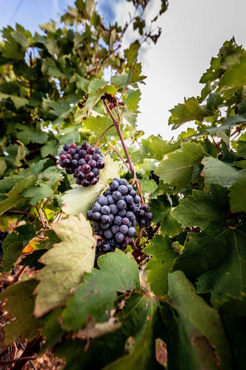 Grappoli di primitivo dei vitigni di Cantine Barsento